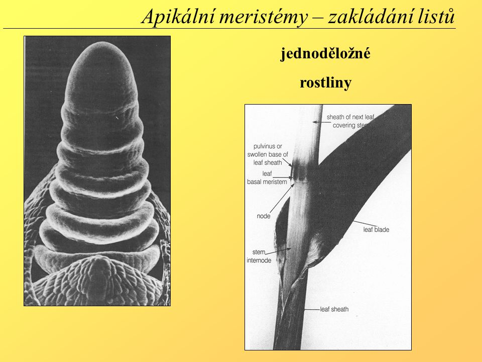 jednoděložné rostliny Apikální meristémy – zakládání listů