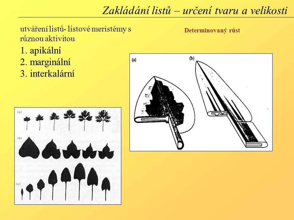 utváření listů- listové meristémy s různou aktivitou 1.