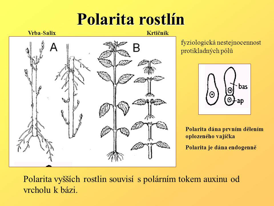Vrba-SalixKrtičník Polarita dána prvním dělením oplozeného vajíčka Polarita je dána endogenně Polarita rostlín Polarita vyšších rostlin souvisí s polárním tokem auxinu od vrcholu k bázi.