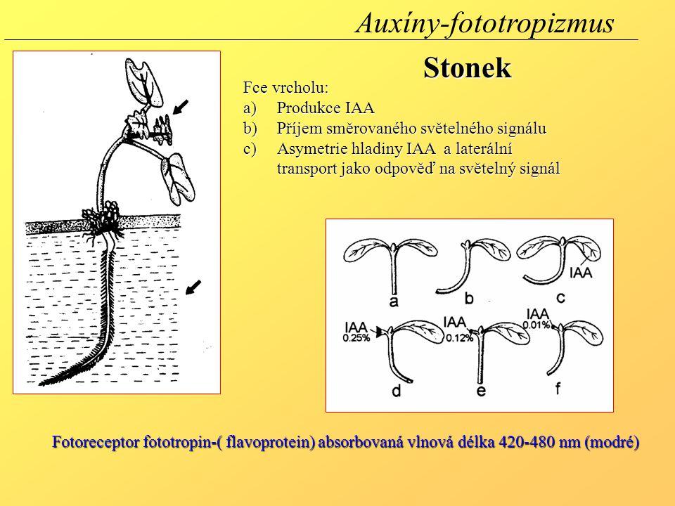 Fce vrcholu: a)Produkce IAA b)Příjem směrovaného světelného signálu c)Asymetrie hladiny IAA a laterální transport jako odpověď na světelný signál Fotoreceptor fototropin-( flavoprotein) absorbovaná vlnová délka 420-480 nm (modré) Auxíny-fototropizmusStonek