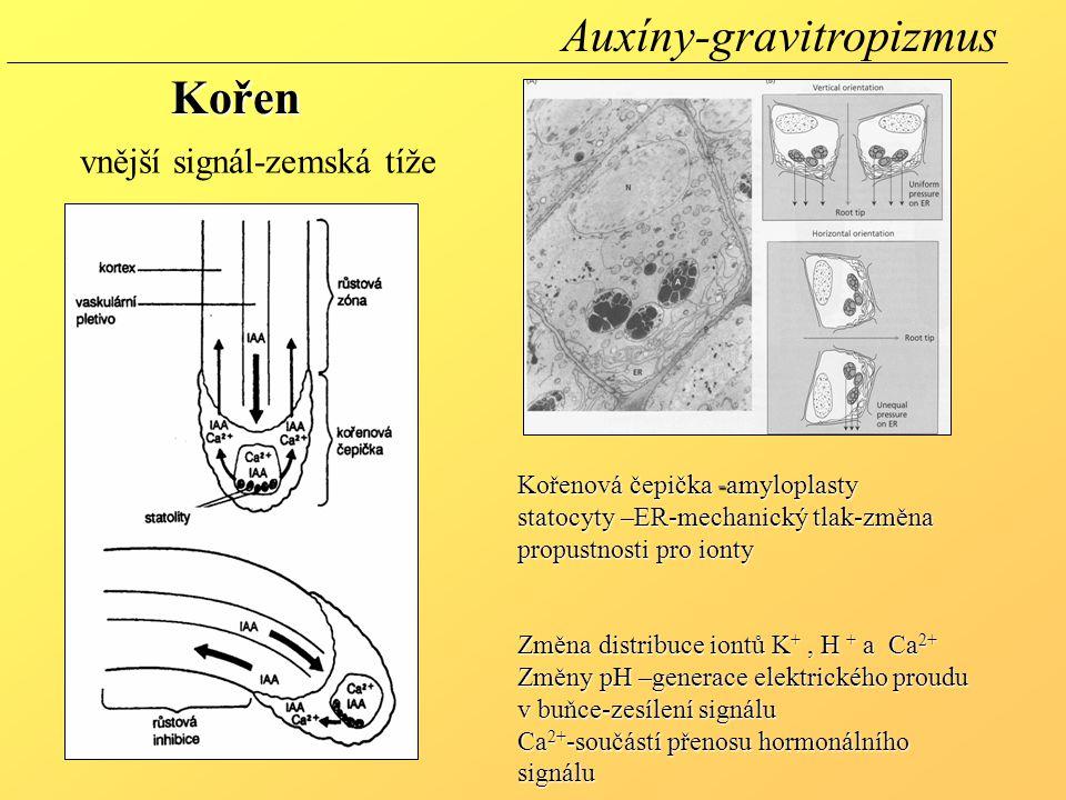 Kořenová čepička -amyloplasty statocyty –ER-mechanický tlak-změna propustnosti pro ionty Změna distribuce iontů K +, H + a Ca 2+ Změny pH –generace elektrického proudu v buňce-zesílení signálu Ca 2+ -součástí přenosu hormonálního signálu vnější signál-zemská tíže Auxíny-gravitropizmusKořen
