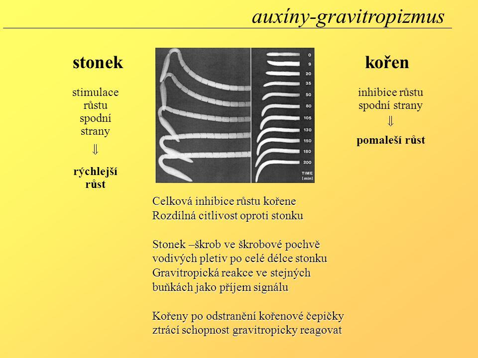 Celková inhibice růstu kořene Rozdílná citlivost oproti stonku Stonek –škrob ve škrobové pochvě vodivých pletiv po celé délce stonku Gravitropická reakce ve stejných buňkách jako příjem signálu Kořeny po odstranění kořenové čepičky ztrácí schopnost gravitropicky reagovat stonekkořen stimulace růstu spodní strany  rýchlejší růst inhibice růstu spodní strany  pomaleší růst auxíny-gravitropizmus