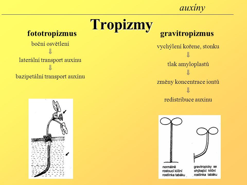 Tropizmy fototropizmusgravitropizmus boční osvětlení  laterální transport auxínu  bazipetální transport auxínu vychýlení kořene, stonku  tlak amyloplastů  změny koncentrace iontů  redistribuce auxinu auxíny