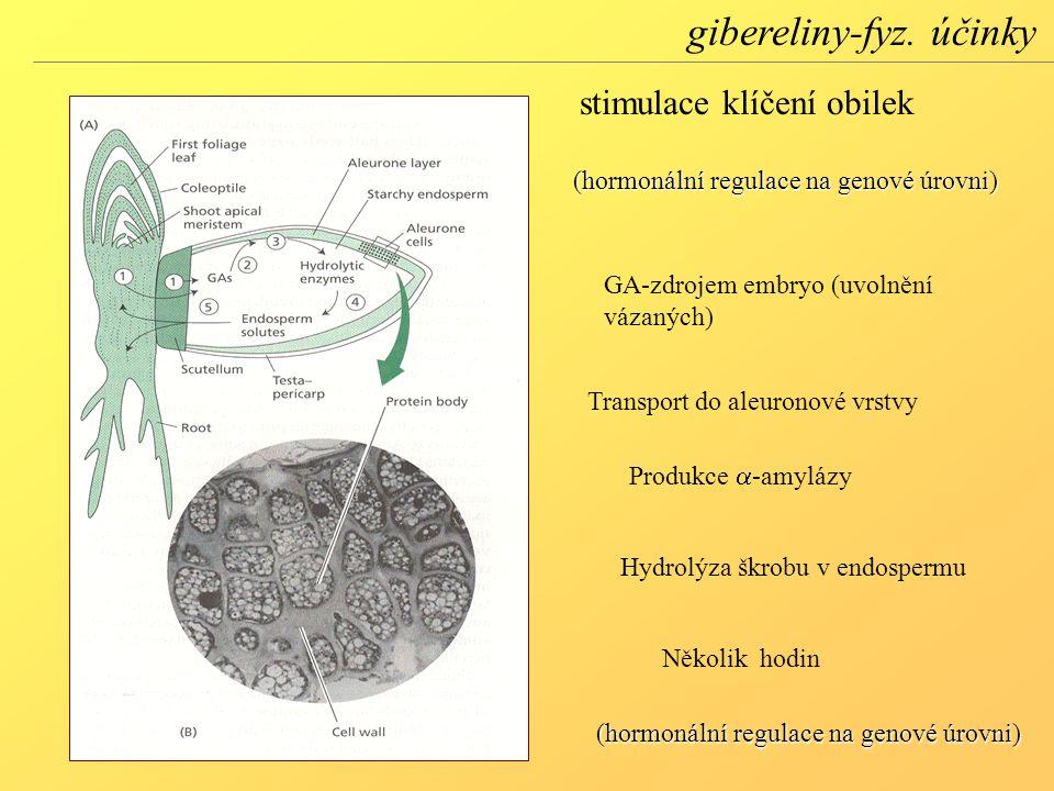 GA-zdrojem embryo (uvolnění vázaných) Transport do aleuronové vrstvy Produkce  -amylázy Hydrolýza škrobu v endospermu Několik hodin (hormonální regulace na genové úrovni) stimulace klíčení obilek (hormonální regulace na genové úrovni) gibereliny-fyz.