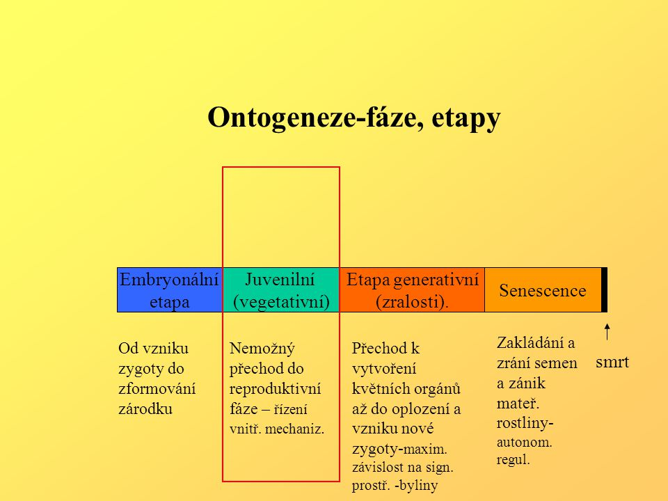 Meristémy - sídlo organogeneze, celoživotní funkce Primární – nederminované -apikální-vrcholové (kořen,stonek-vrchol, pupeny) -interkalární –vmezeřené (jednoděložné,trávy) - determinované - bazální (listy, květy) Růst –růstové zóny