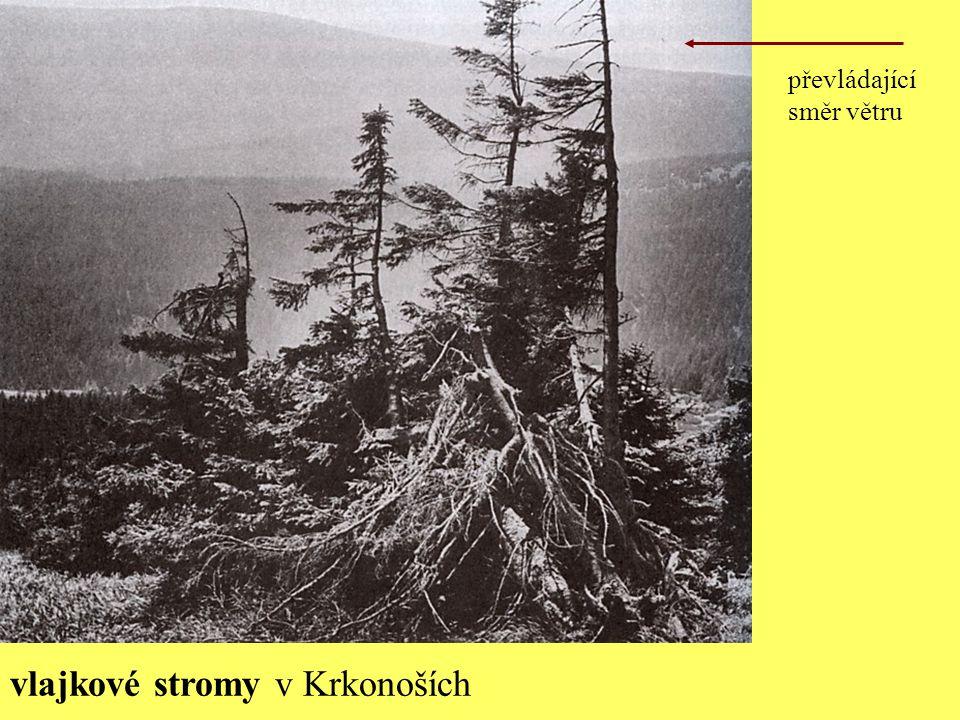 vlajkové stromy v Krkonoších převládající směr větru
