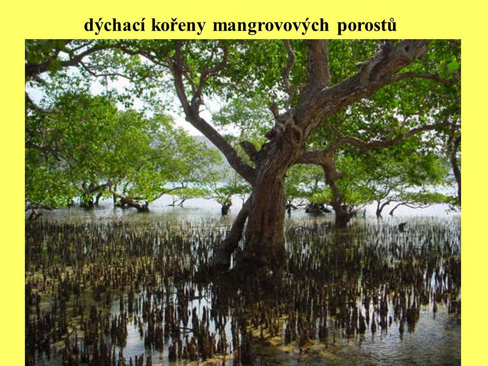 dýchací kořeny mangrovových porostů