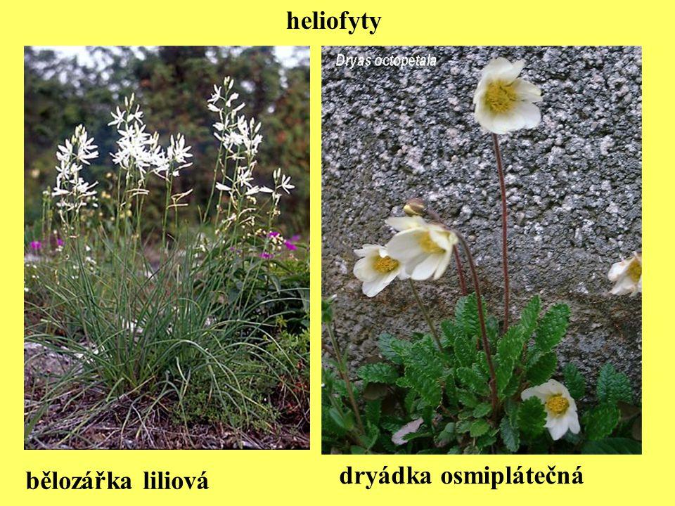 heliofyty bělozářka liliová dryádka osmiplátečná