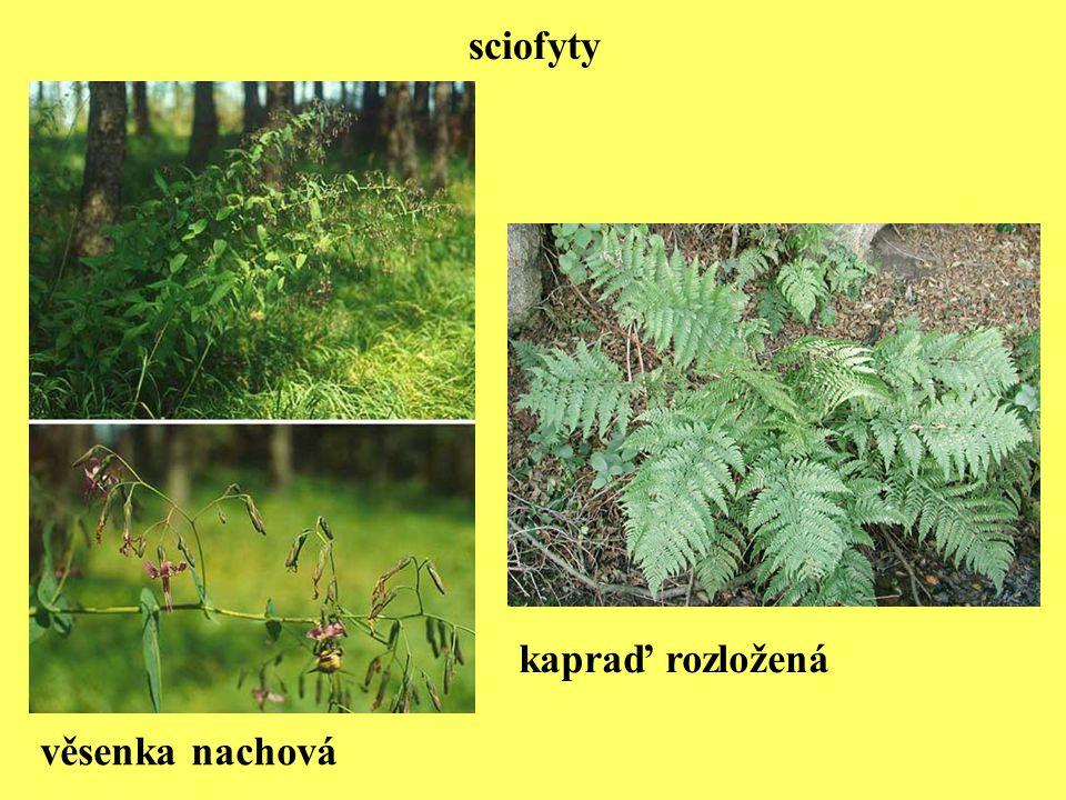 hlízky bakterie rodu Rhizobium na kořenovém systému vyšší rostliny