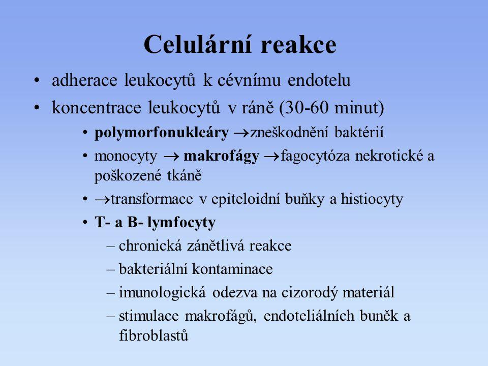 Celulární reakce adherace leukocytů k cévnímu endotelu koncentrace leukocytů v ráně (30-60 minut) polymorfonukleáry  zneškodnění baktérií monocyty 