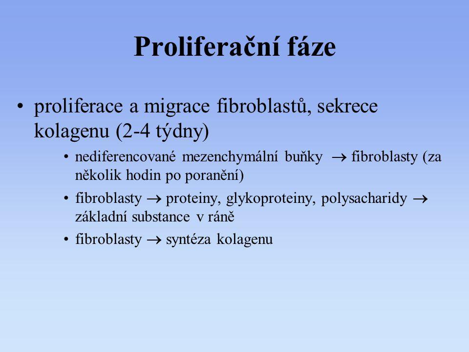 Proliferační fáze proliferace a migrace fibroblastů, sekrece kolagenu (2-4 týdny) nediferencované mezenchymální buňky  fibroblasty (za několik hodin