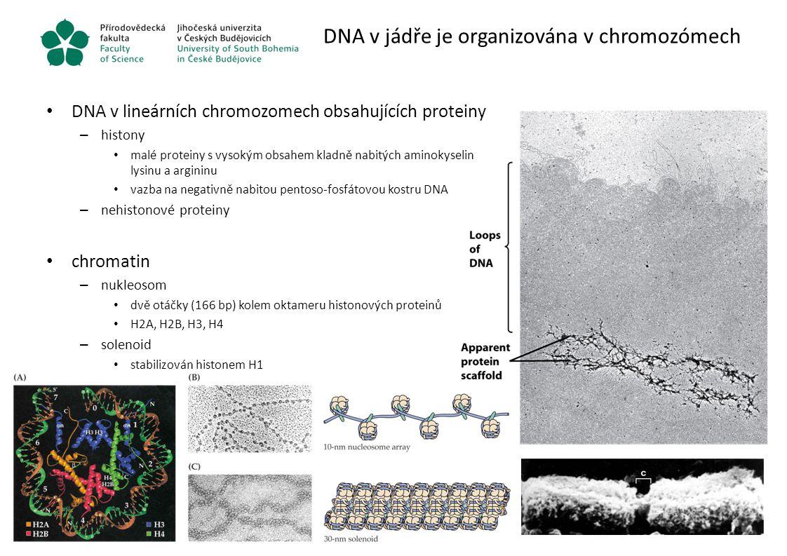 DNA v jádře je organizována v chromozómech DNA v lineárních chromozomech obsahujících proteiny – histony malé proteiny s vysokým obsahem kladně nabitý