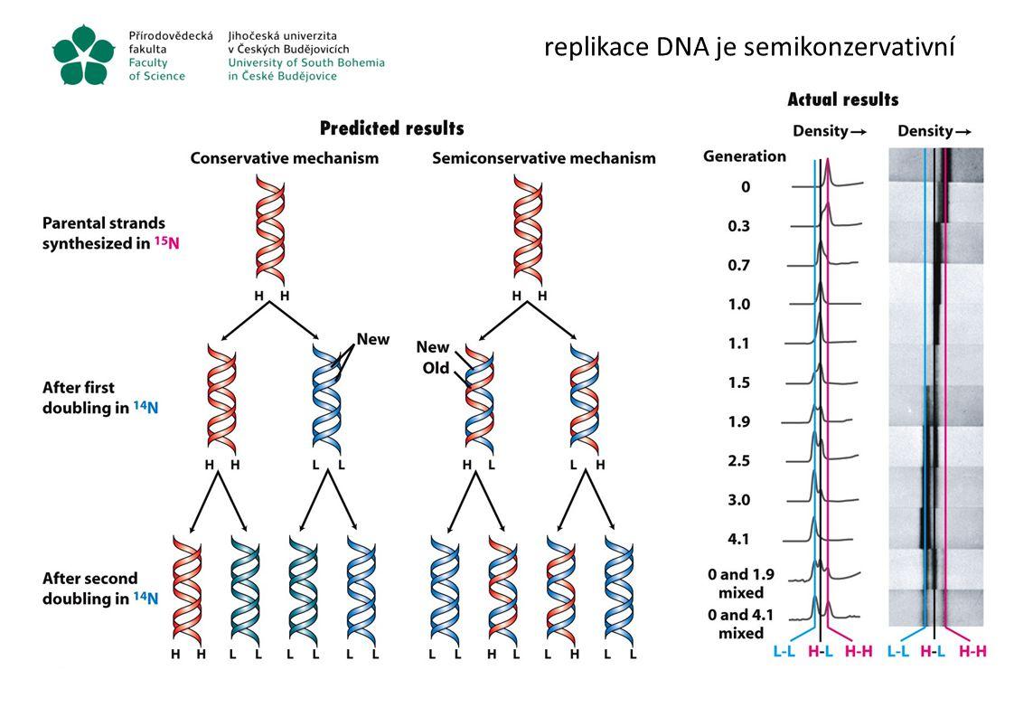 replikace DNA je semikonzervativní