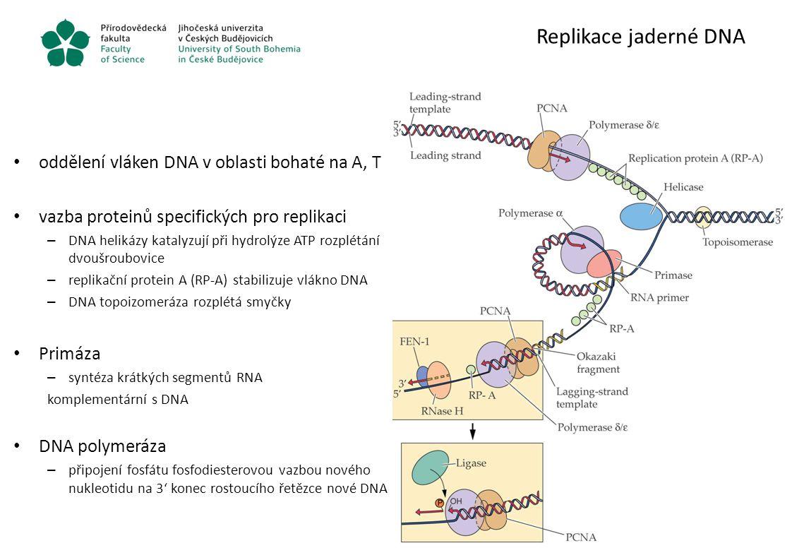 Replikace jaderné DNA oddělení vláken DNA v oblasti bohaté na A, T vazba proteinů specifických pro replikaci – DNA helikázy katalyzují při hydrolýze A