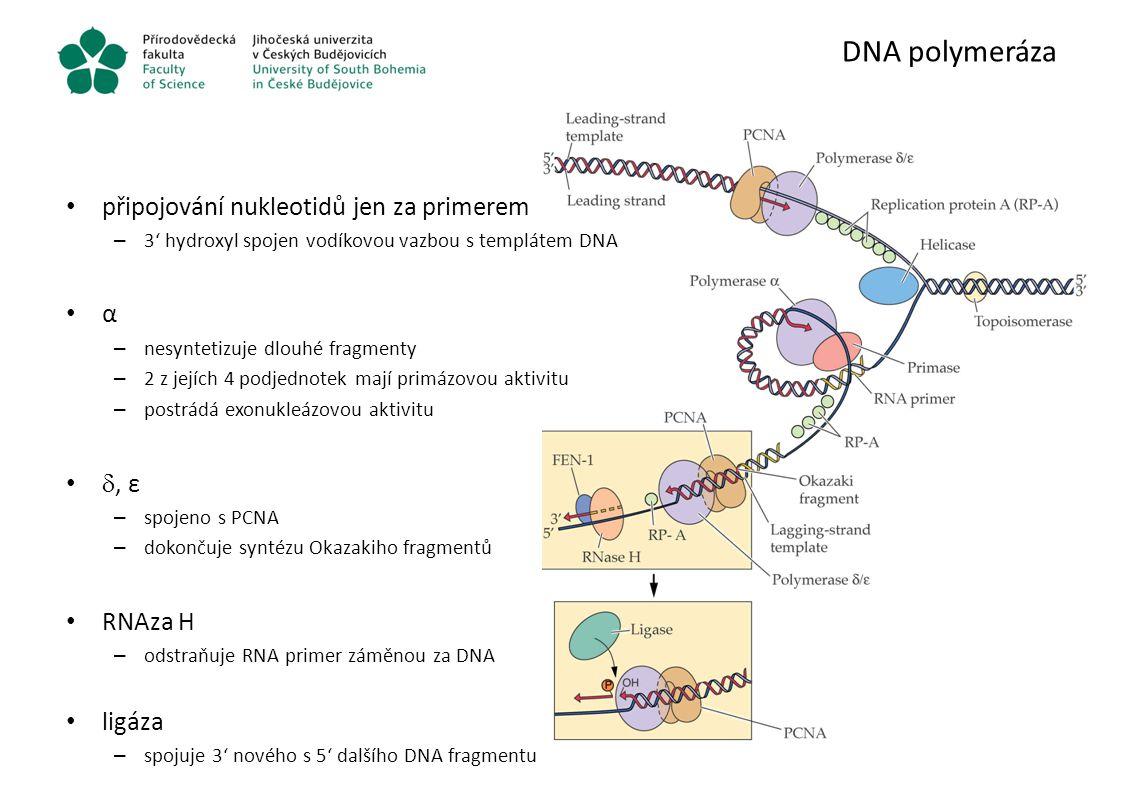 DNA polymeráza připojování nukleotidů jen za primerem – 3' hydroxyl spojen vodíkovou vazbou s templátem DNA α – nesyntetizuje dlouhé fragmenty – 2 z j