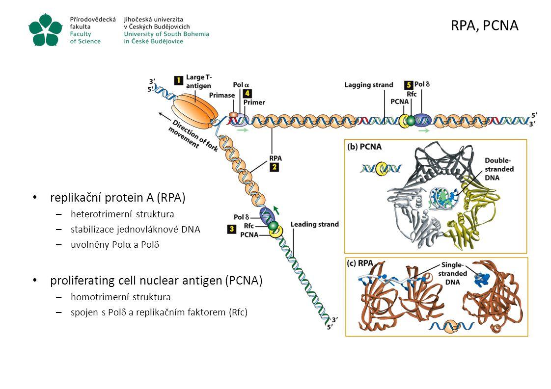 RPA, PCNA replikační protein A (RPA) – heterotrimerní struktura – stabilizace jednovláknové DNA – uvolněny Polα a Pol  proliferating cell nuclear ant