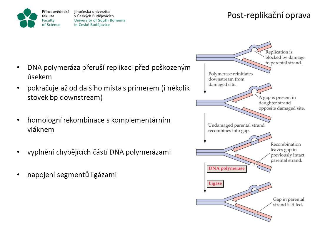Post-replikační oprava DNA polymeráza přeruší replikaci před poškozeným úsekem pokračuje až od dalšího místa s primerem (i několik stovek bp downstrea