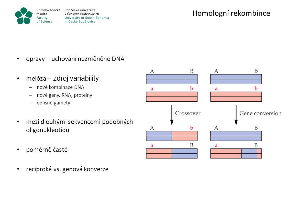 Homologní rekombince opravy – uchování nezměněné DNA meióza – zdroj variability – nové kombinace DNA – nové geny, RNA, proteiny – odlišné gamety mezi