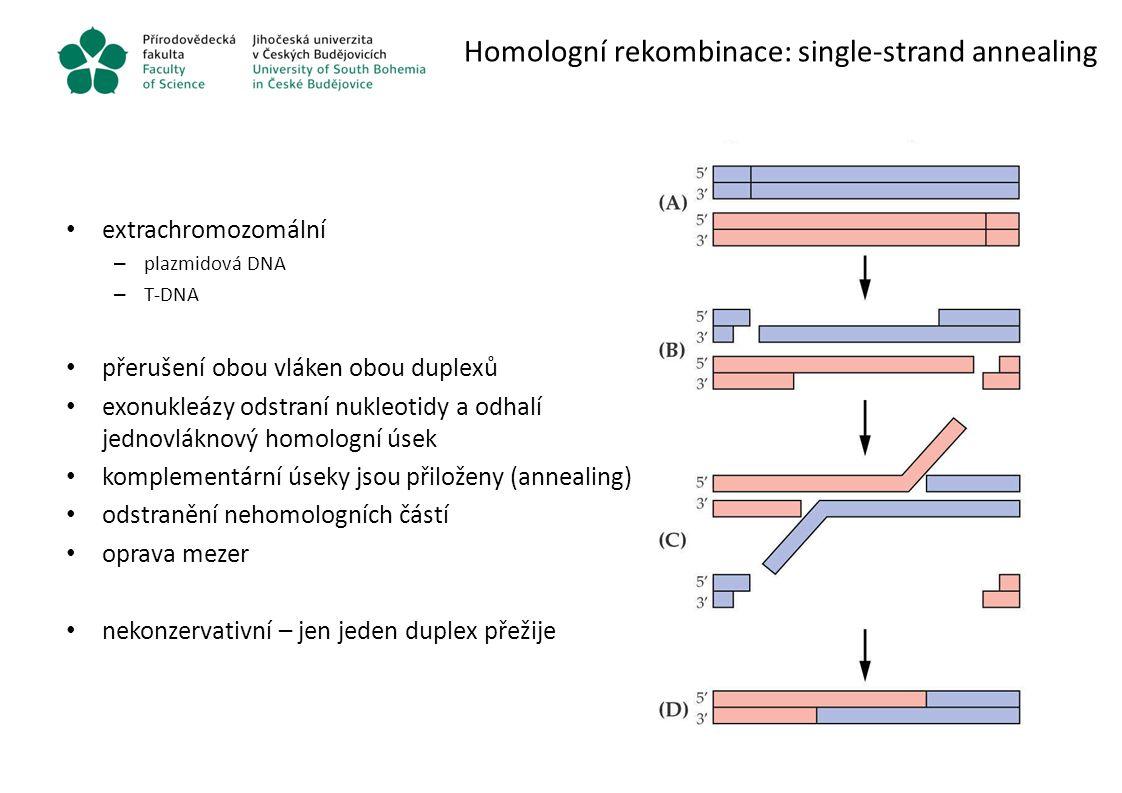 Homologní rekombinace: single-strand annealing extrachromozomální – plazmidová DNA – T-DNA přerušení obou vláken obou duplexů exonukleázy odstraní nuk