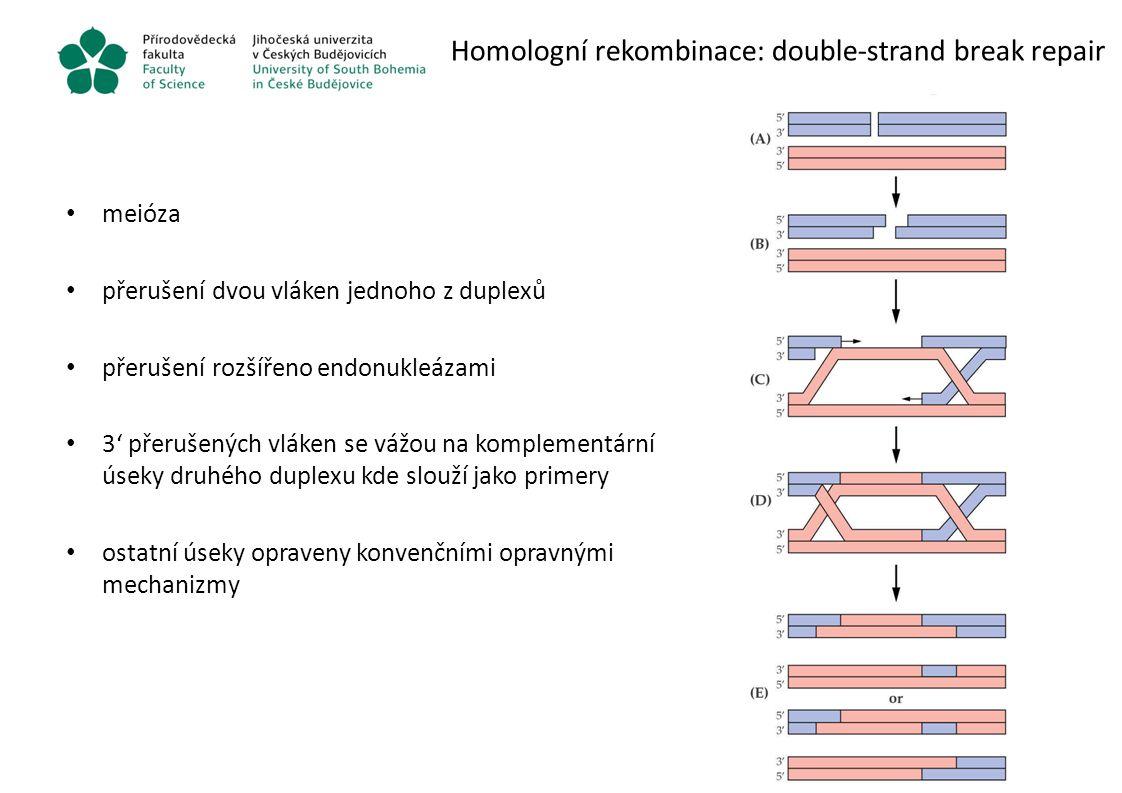 Homologní rekombinace: double-strand break repair meióza přerušení dvou vláken jednoho z duplexů přerušení rozšířeno endonukleázami 3' přerušených vlá