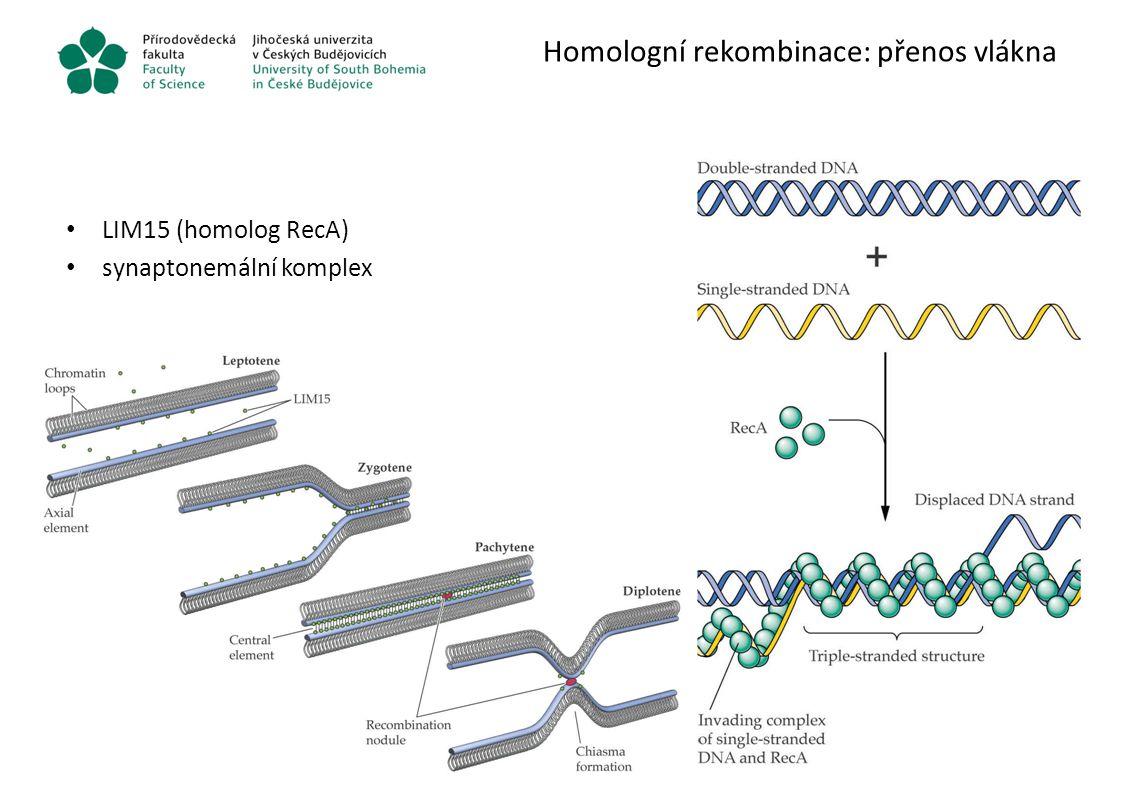 Homologní rekombinace: přenos vlákna LIM15 (homolog RecA) synaptonemální komplex