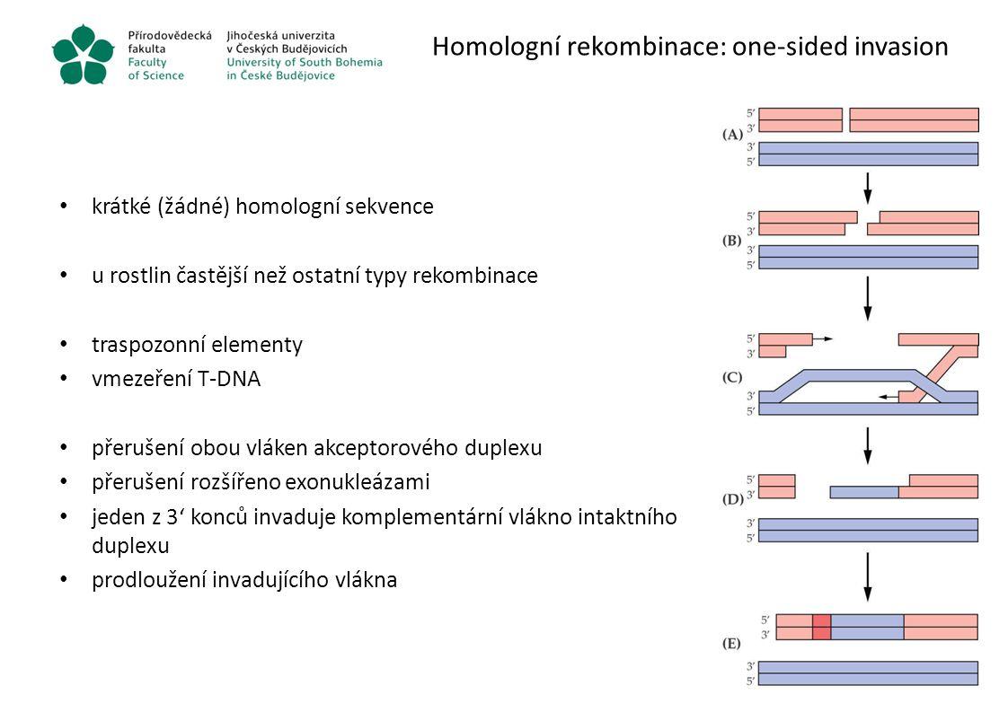 Homologní rekombinace: one-sided invasion krátké (žádné) homologní sekvence u rostlin častější než ostatní typy rekombinace traspozonní elementy vmeze