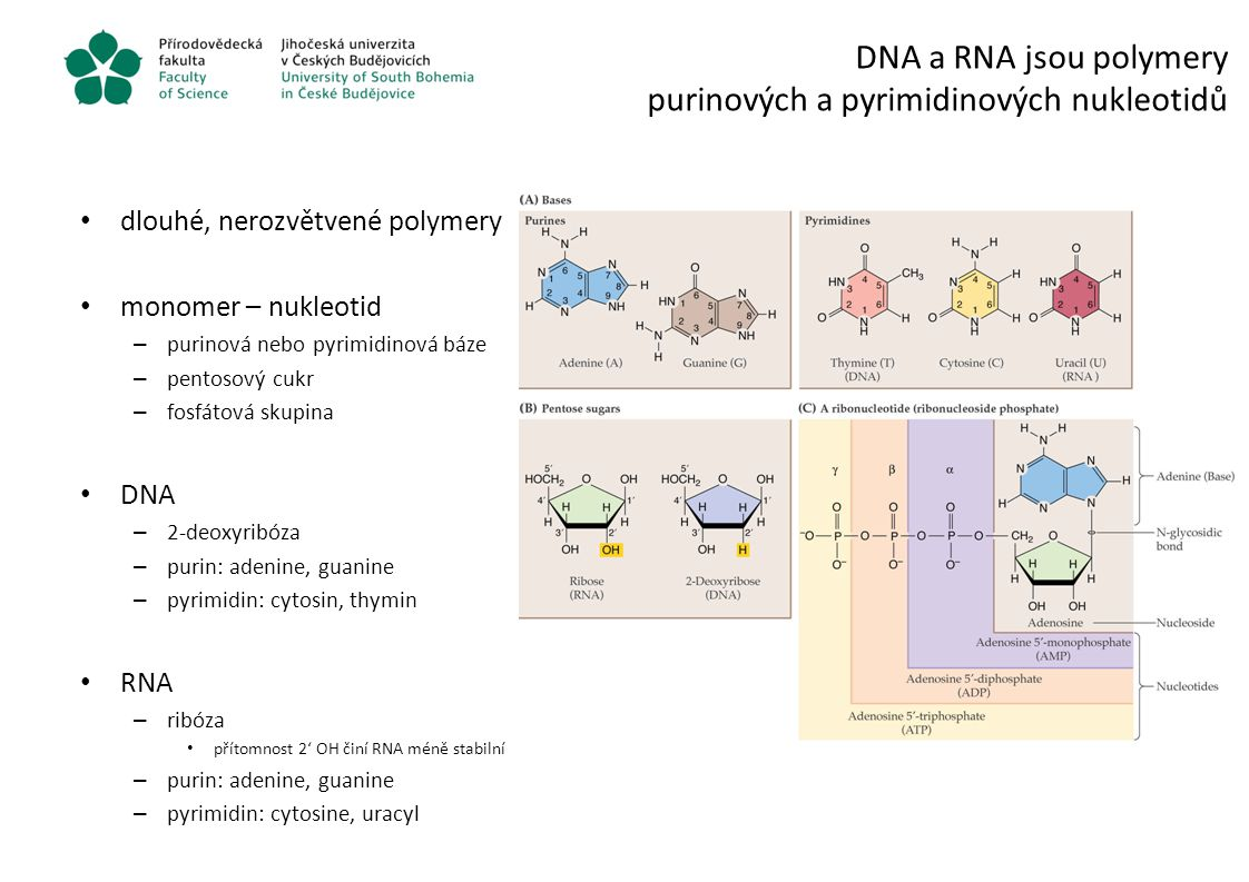 DNA a RNA jsou polymery purinových a pyrimidinových nukleotidů dlouhé, nerozvětvené polymery monomer – nukleotid – purinová nebo pyrimidinová báze – p