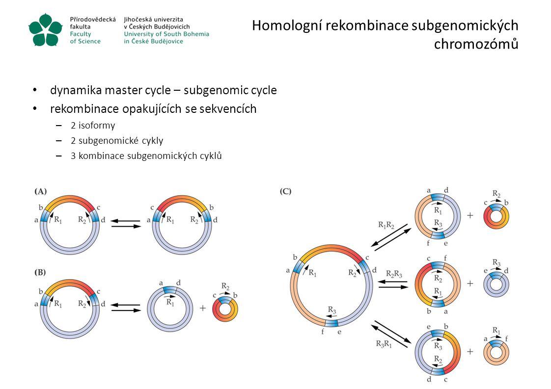 Homologní rekombinace subgenomických chromozómů dynamika master cycle – subgenomic cycle rekombinace opakujících se sekvencích – 2 isoformy – 2 subgen
