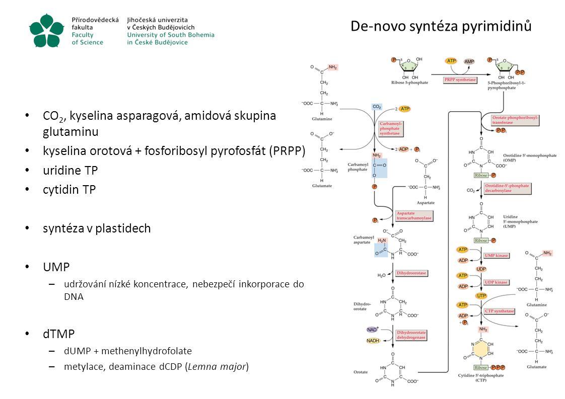 De-novo syntéza purinů syntéza přímo z PRPP postupným přidáváním – uhlíků glycin CO 2 formyl a methenyl tetrahydrofolát (THF) – amidové skupiny kyselina asparagová glutamin syntéza v cytosolu