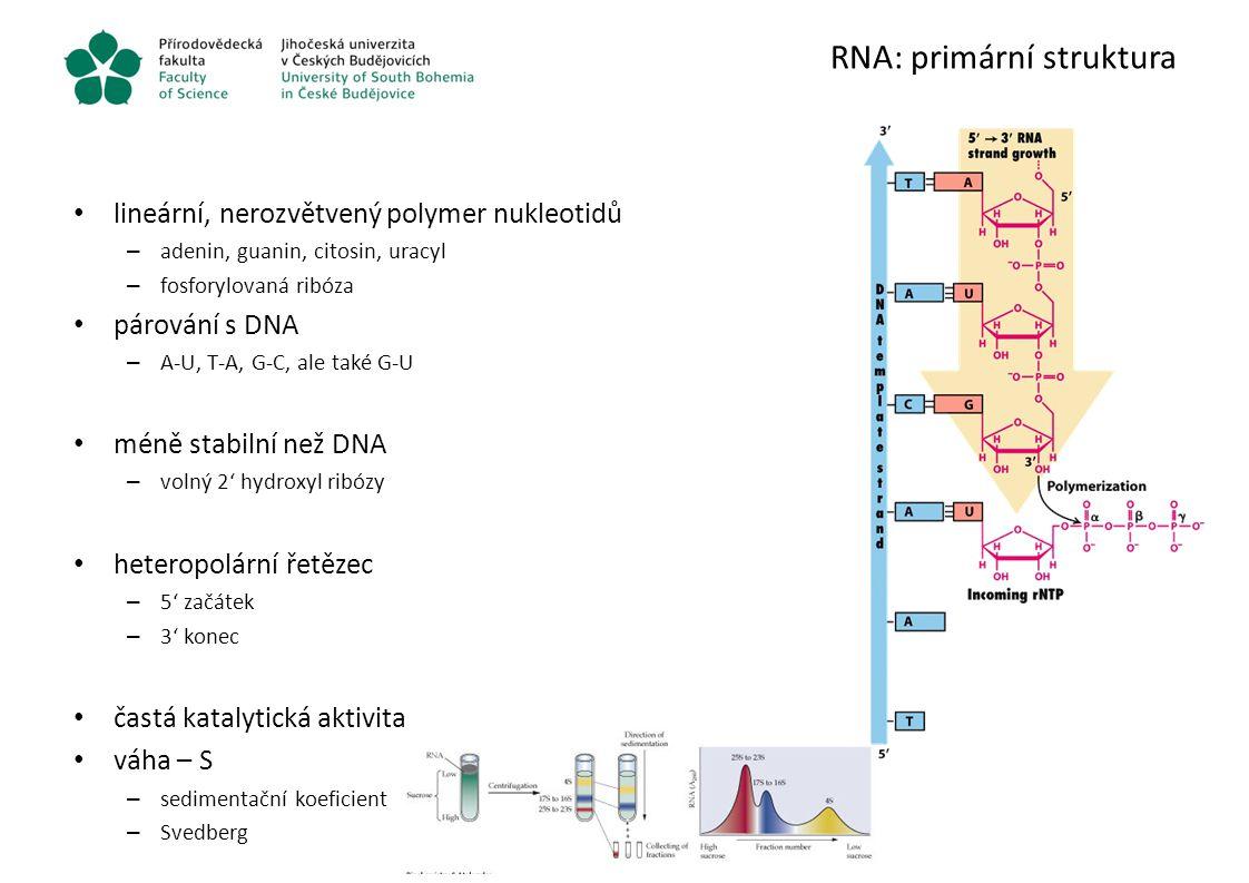 RNA: primární struktura lineární, nerozvětvený polymer nukleotidů – adenin, guanin, citosin, uracyl – fosforylovaná ribóza párování s DNA – A-U, T-A,