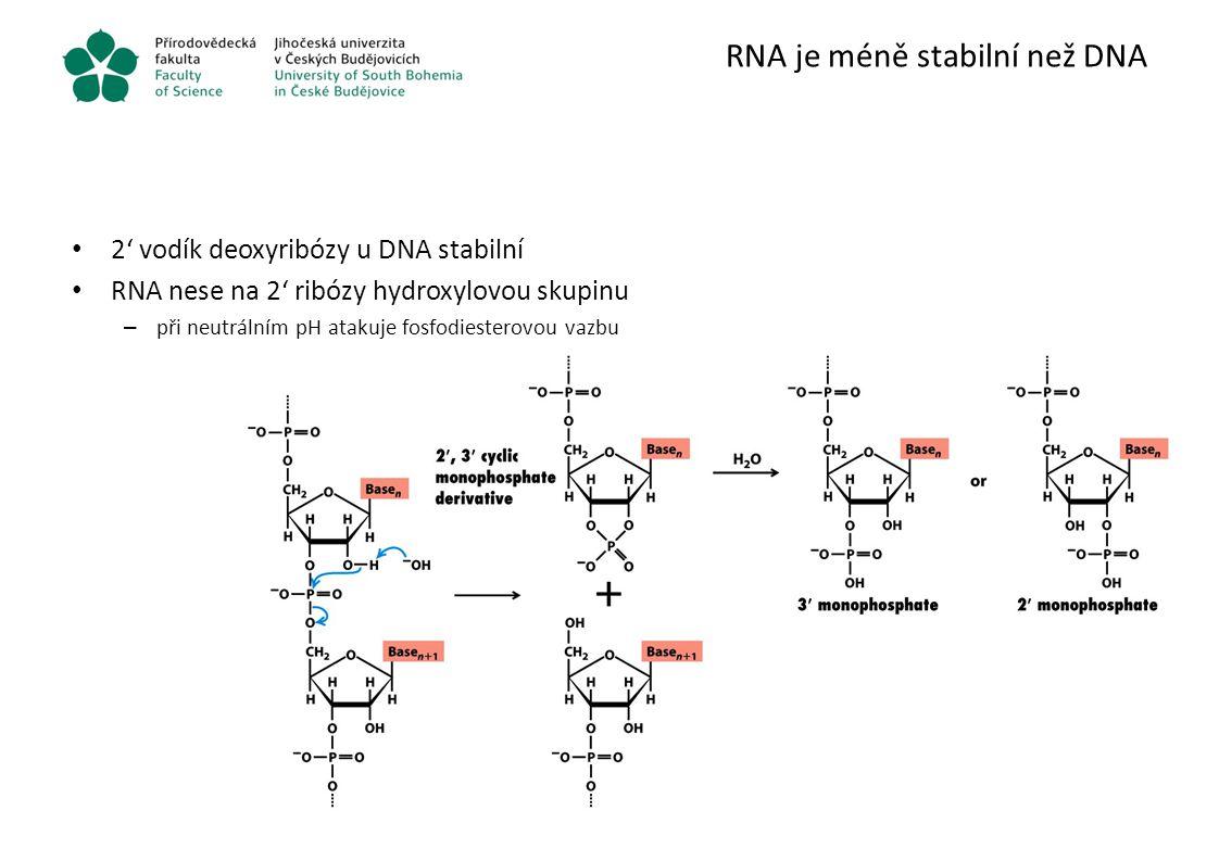 RNA je méně stabilní než DNA 2' vodík deoxyribózy u DNA stabilní RNA nese na 2' ribózy hydroxylovou skupinu – při neutrálním pH atakuje fosfodiesterov