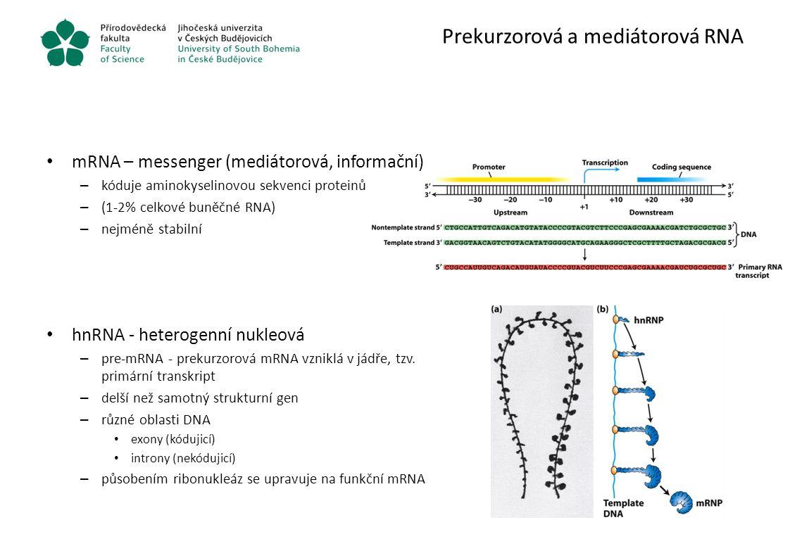 Prekurzorová a mediátorová RNA mRNA – messenger (mediátorová, informační) – kóduje aminokyselinovou sekvenci proteinů – (1-2% celkové buněčné RNA) – n