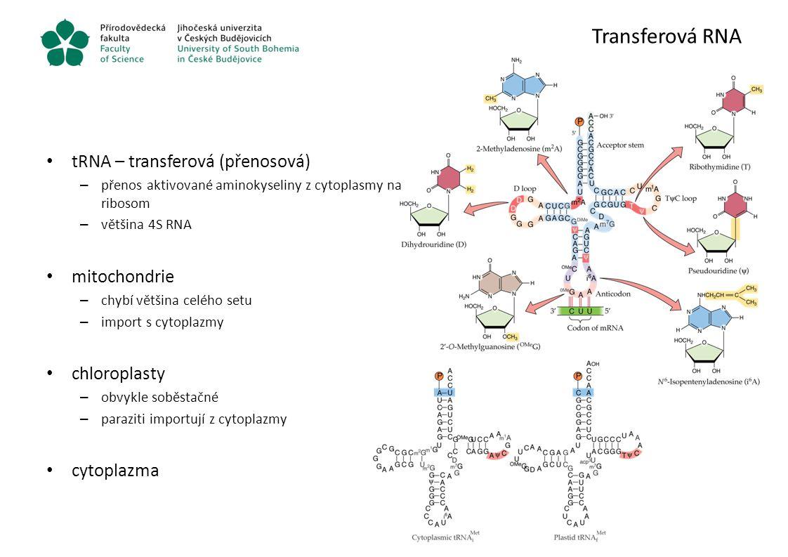 Transferová RNA tRNA – transferová (přenosová) – přenos aktivované aminokyseliny z cytoplasmy na ribosom – většina 4S RNA mitochondrie – chybí většina