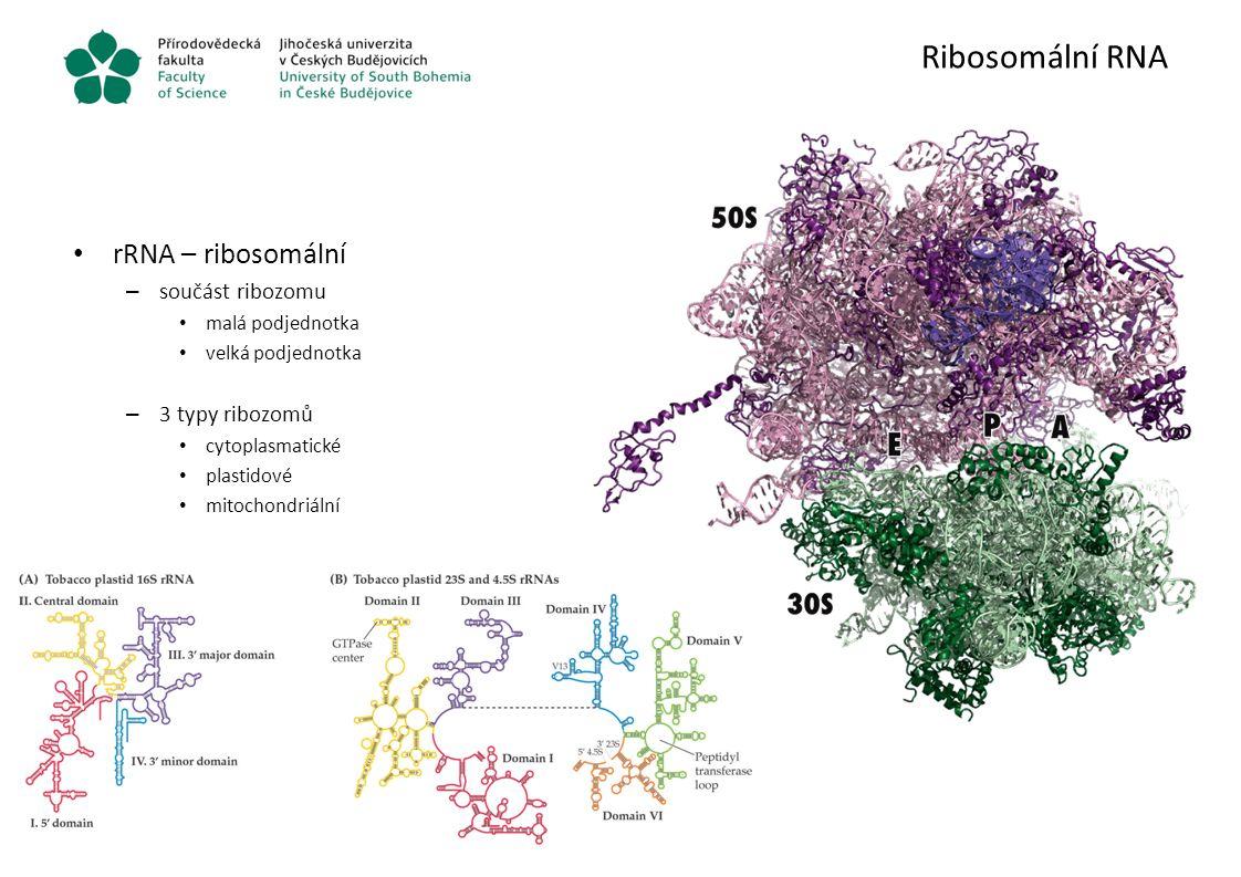 Ribosomální RNA rRNA – ribosomální – součást ribozomu malá podjednotka velká podjednotka – 3 typy ribozomů cytoplasmatické plastidové mitochondriální
