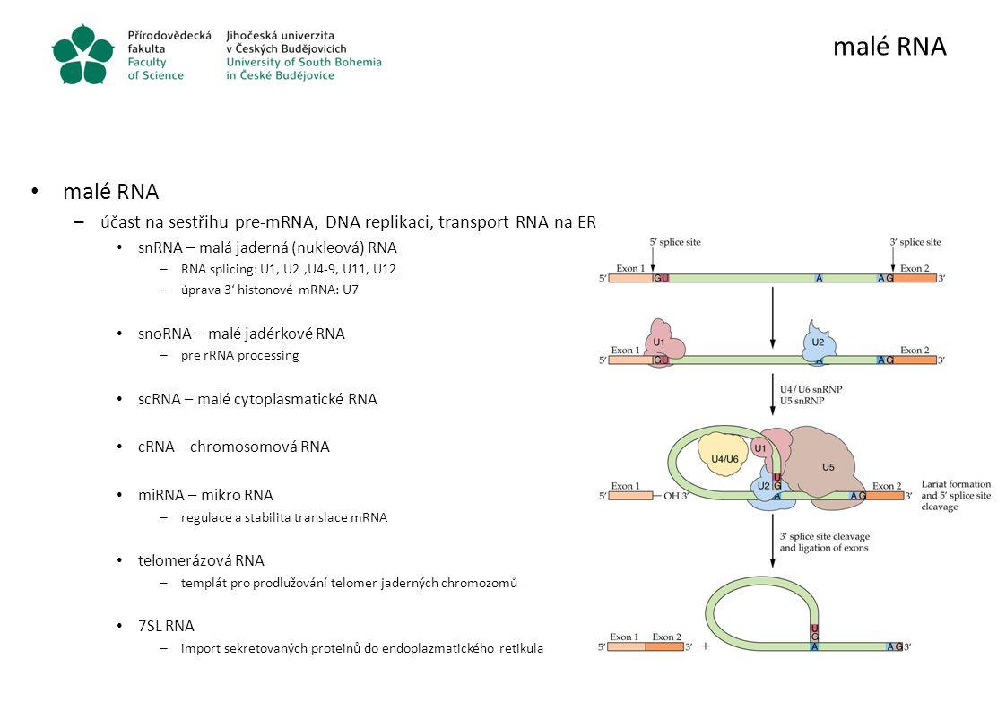 malé RNA – účast na sestřihu pre-mRNA, DNA replikaci, transport RNA na ER snRNA – malá jaderná (nukleová) RNA – RNA splicing: U1, U2,U4-9, U11, U12 –