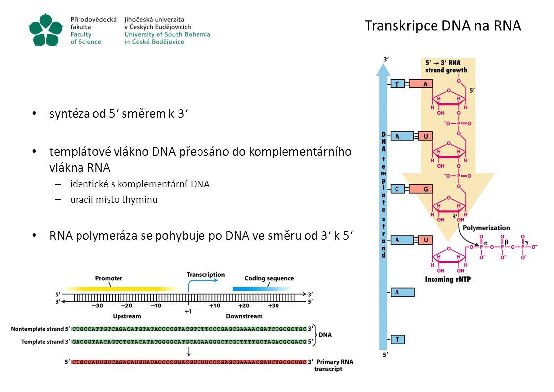 Transkripce DNA na RNA syntéza od 5' směrem k 3' templátové vlákno DNA přepsáno do komplementárního vlákna RNA – identické s komplementární DNA – urac