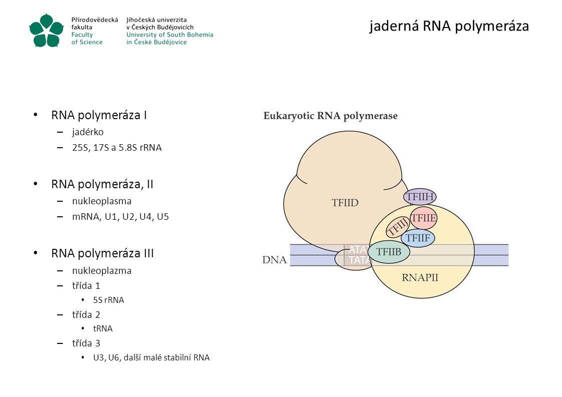 jaderná RNA polymeráza RNA polymeráza I – jadérko – 25S, 17S a 5.8S rRNA RNA polymeráza, II – nukleoplasma – mRNA, U1, U2, U4, U5 RNA polymeráza III –