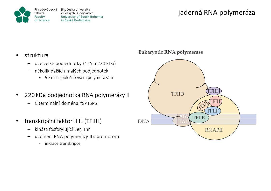 jaderná RNA polymeráza struktura – dvě velké podjednotky (125 a 220 kDa) – několik dalších malých podjednotek 5 z nich společné všem polymerázám 220 k
