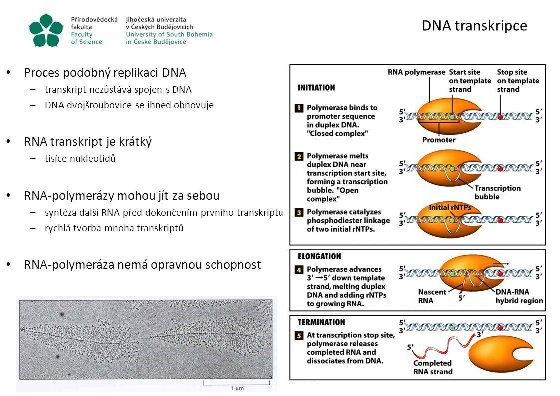 DNA transkripce Proces podobný replikaci DNA – transkript nezůstává spojen s DNA – DNA dvojšroubovice se ihned obnovuje RNA transkript je krátký – tis
