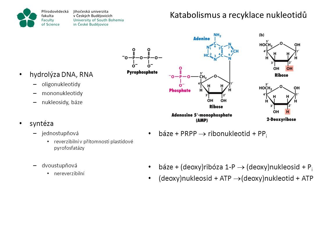 Katabolismus a recyklace nukleotidů hydrolýza DNA, RNA – oligonukleotidy – mononukleotidy – nukleosidy, báze syntéza – jednostupňová reverzibilní v př