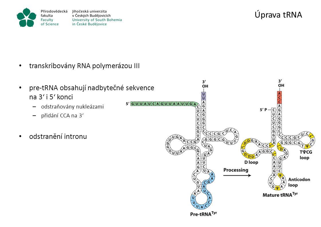 Úprava tRNA transkribovány RNA polymerázou III pre-tRNA obsahují nadbytečné sekvence na 3' i 5' konci – odstraňovány nukleázami – přidání CCA na 3' od