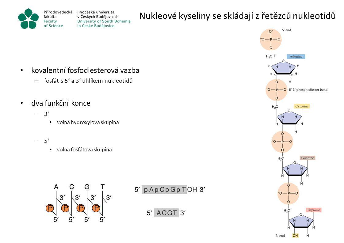 """Párování bazí v DNA převládající forma DNA je dvouvláknová pravotočivá dvoušroubovice – jedna otočka za 3.4 nm – 10.1 párů bazí na otočku – flexibilní vodíkové vazby mezi vlákny chybí vazby mezi """"patry A – T – dvě vodíkové vazby G – C – tři vodíkové vazby párování hnáno zvýšením entropie – vznik dvouvlákna snižuje entropii – hydrofobní baze v centru vlákna stíněny od vody – zvýšení entropie"""