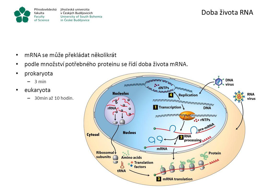 Doba života RNA mRNA se může překládat několikrát podle množství potřebného proteinu se řídí doba života mRNA. prokaryota – 3 min eukaryota – 30min až