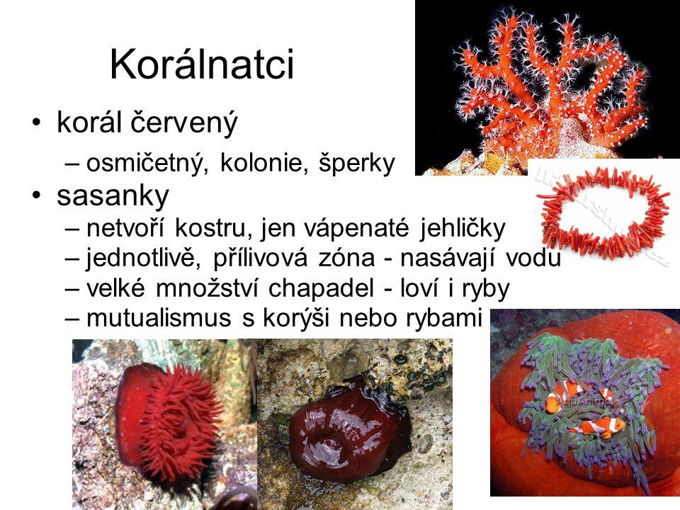 Korálnatci korál červený –osmičetný, kolonie, šperky sasanky –netvoří kostru, jen vápenaté jehličky –jednotlivě, přílivová zóna - nasávají vodu –velké