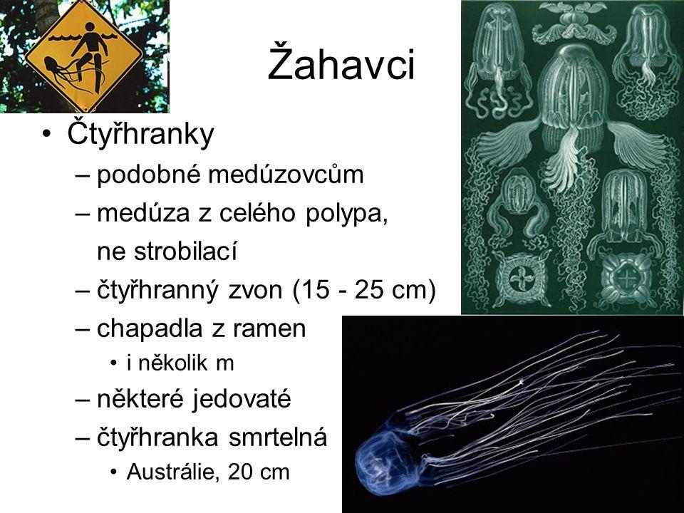 Žahavci Čtyřhranky –podobné medúzovcům –medúza z celého polypa, ne strobilací –čtyřhranný zvon (15 - 25 cm) –chapadla z ramen i několik m –některé jed