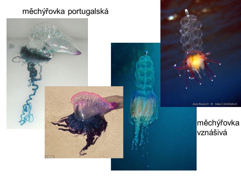 měchýřovka portugalská měchýřovka vznášivá