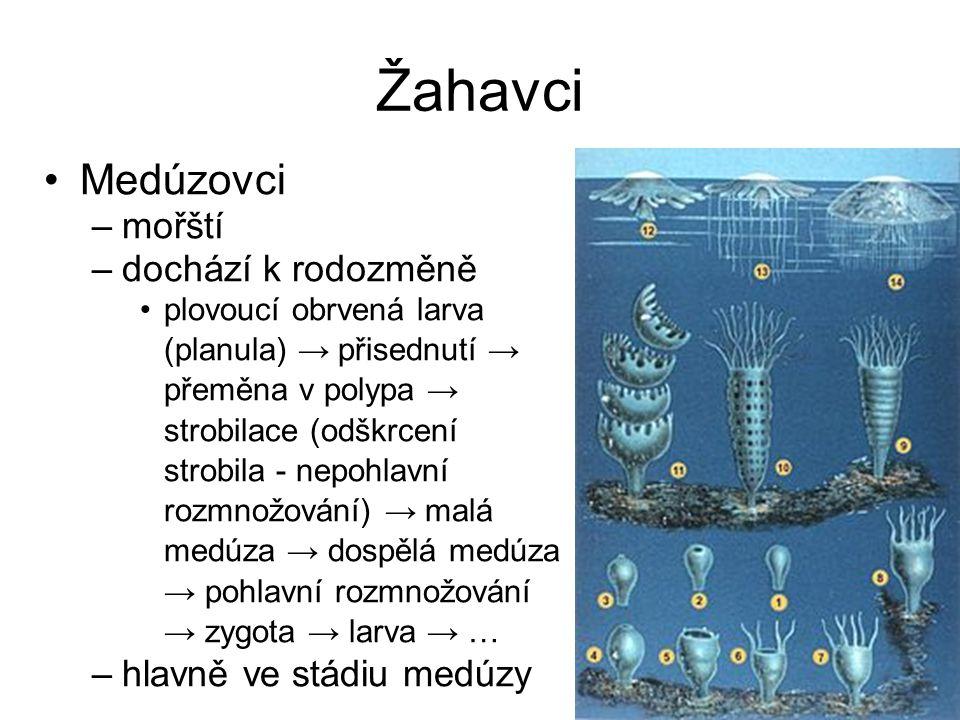 Žahavci Medúzovci –mořští –dochází k rodozměně plovoucí obrvená larva (planula) → přisednutí → přeměna v polypa → strobilace (odškrcení strobila - nep