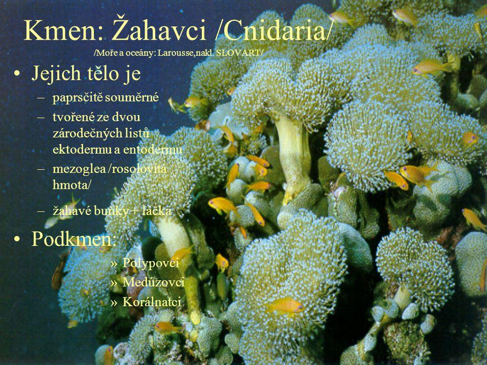 Kmen: Žahavci /Cnidaria/ /Moře a oceány: Larousse,nakl. SLOVART/ Jejich tělo je –paprsčitě souměrné –tvořené ze dvou zárodečných listů ektodermu a ent