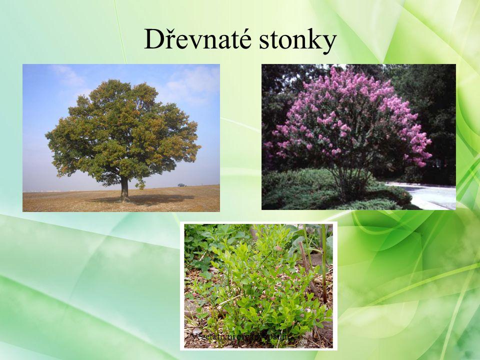 Dřevnaté stonky Vegetativní orgány rostlin