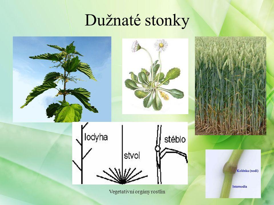 Dužnaté stonky Vegetativní orgány rostlin